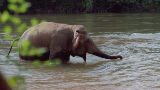 elephant playing in the river - herbivorous stock videos & royalty-free footage