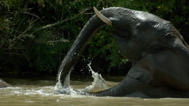 vídeos de stock, filmes e b-roll de elephant plays in the water in slow motion - south africa - elefante