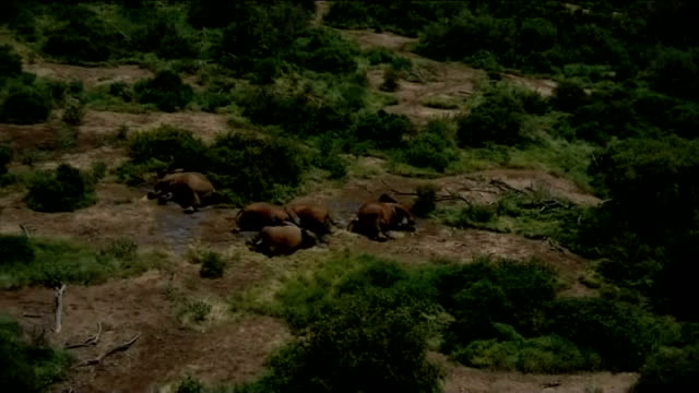 vidéos et rushes de elephant poaching to order for illegal ivory trade 912013 / t09011302 tsavo national park helicopter shots over national park and showing family of... - elephant