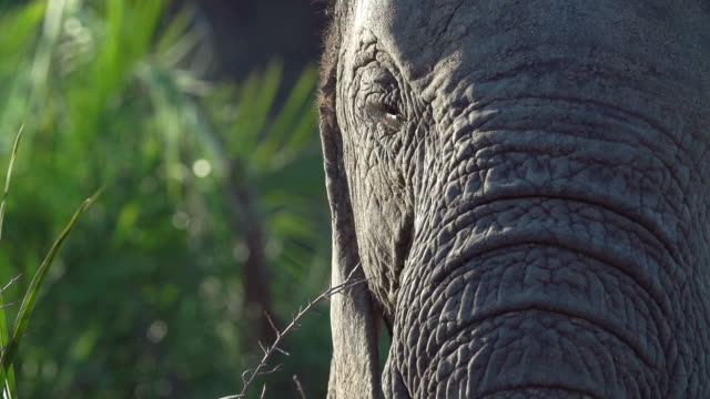 CU SLO MO Elephant profile as it chewing and feeding / Kruger National Park, Mpumalanga, South Africa