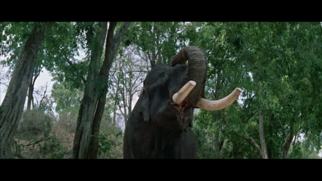 ms pov elephant raiseing trunk in air  - レターボックス点の映像素材/bロール