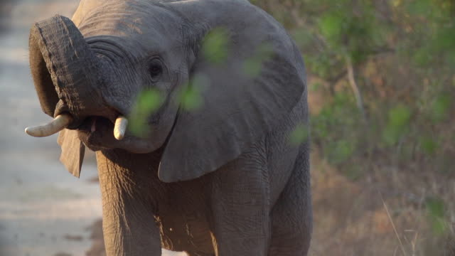 vídeos de stock, filmes e b-roll de ms slo mo elephant raising trunk and sniffing air / kruger national park, mpumalanga, south africa - elefante