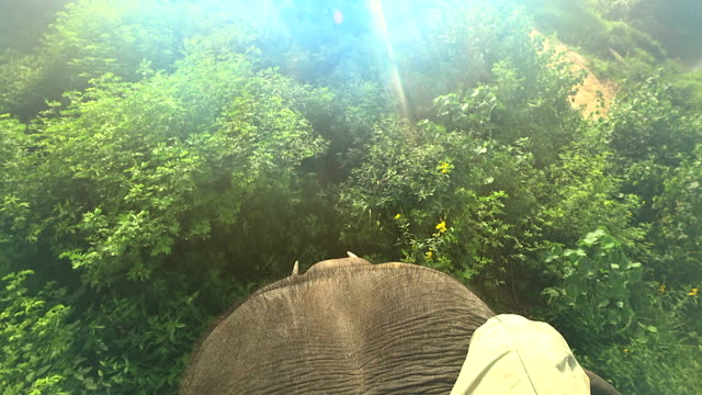 elephant ride, leg of people on the head of an elephant in the wild jungle.shot from mahout point of view.travel concept. - elephant stock videos & royalty-free footage