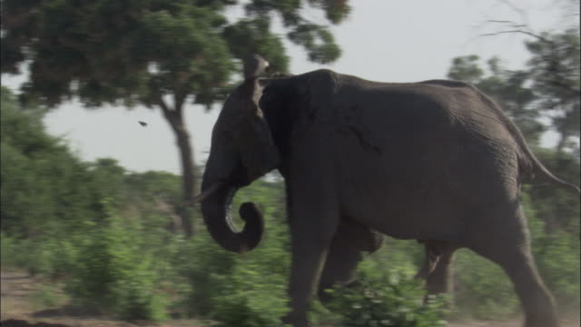 Elephant runs through brush, Botswana