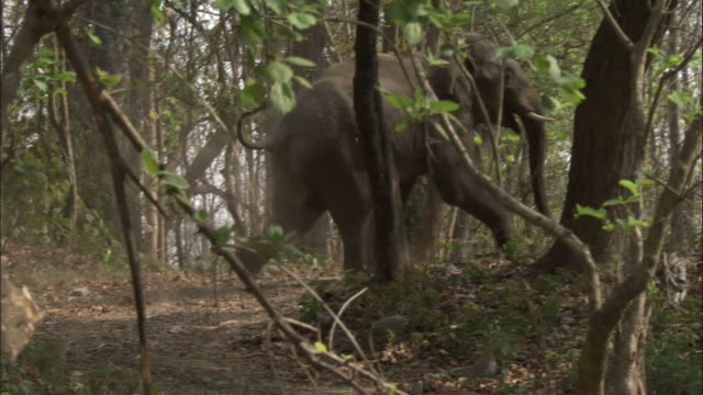 elephant runs through trees, chilla sanctuary, india available in hd. - elephant stock videos & royalty-free footage