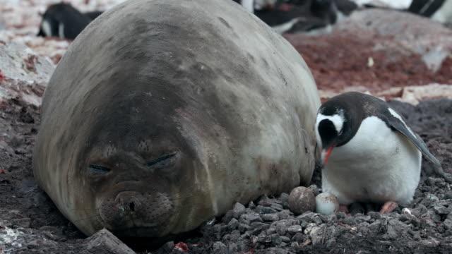 vídeos de stock e filmes b-roll de elephant seal and gentoo penguin - elefante marinho meridional