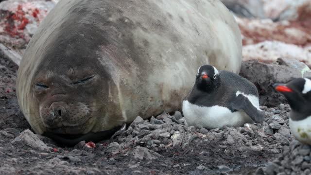 elephant seal and gentoo penguin - kleine gruppe von tieren stock-videos und b-roll-filmmaterial