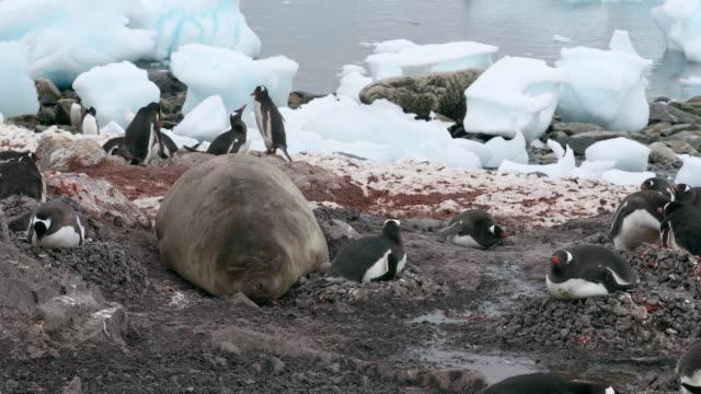 vídeos de stock e filmes b-roll de elephant seal and gentoo penguins - elefante marinho meridional