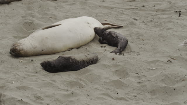 elephant seal and nursing pup - elephant seal stock videos & royalty-free footage