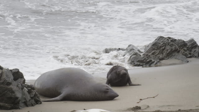 elephant seal and pup - elephant seal stock videos & royalty-free footage