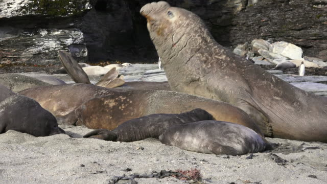 elephant seal bull moving into his harem, south georgia island, southern ocean - elephant seal stock videos & royalty-free footage