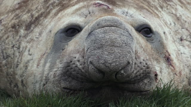 stockvideo's en b-roll-footage met elephant seal, close up of face, ocean harbor, south georgia island, southern ocean - zeeolifant