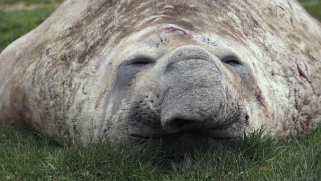 Elephant seal, close up of face, Ocean Harbor, South Georgia Island, Southern Ocean