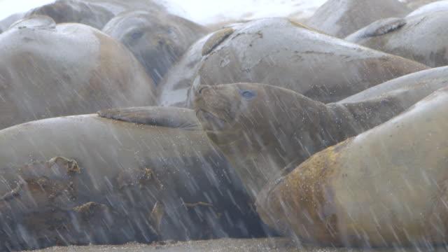 MS Elephant seal colony in snow / Antarctica peninsular, Antarctica