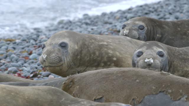 vídeos de stock e filmes b-roll de ms elephant seal colony on beach / antarctica peninsular, antarctica - elefante marinho