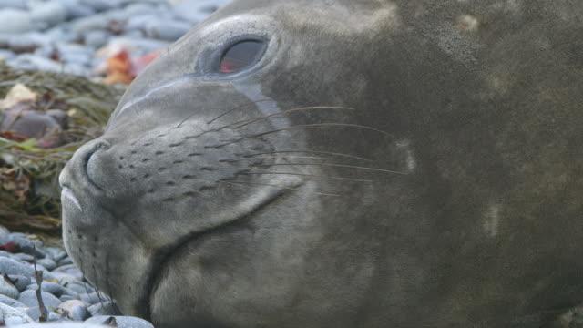 vídeos de stock e filmes b-roll de cu elephant seal face / antarctica peninsular, antarctica - elefante marinho