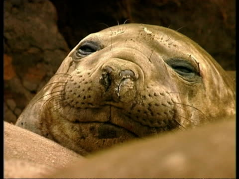 cu elephant seal face, edited sequence, antarctica - südlicher seeelefant stock-videos und b-roll-filmmaterial