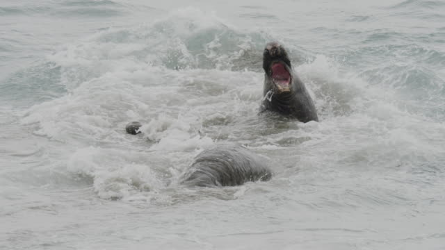 stockvideo's en b-roll-footage met elephant seal fights off rival in water - zeeolifant