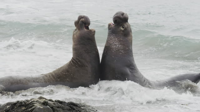 stockvideo's en b-roll-footage met elephant seal fights off rival - zeeolifant