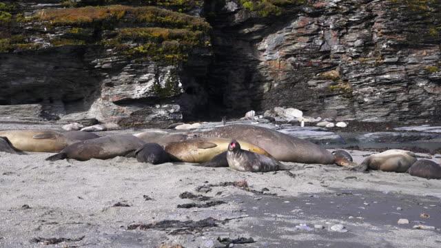Elephant Seal harem, South Georgia Island, Southern Ocean
