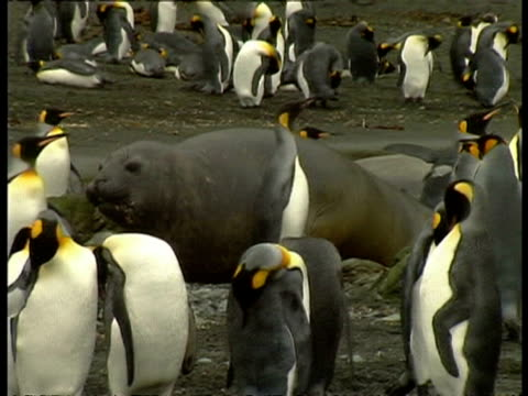 ms elephant seal lumbering along rocks amongst penguin colony, antarctica - südlicher seeelefant stock-videos und b-roll-filmmaterial