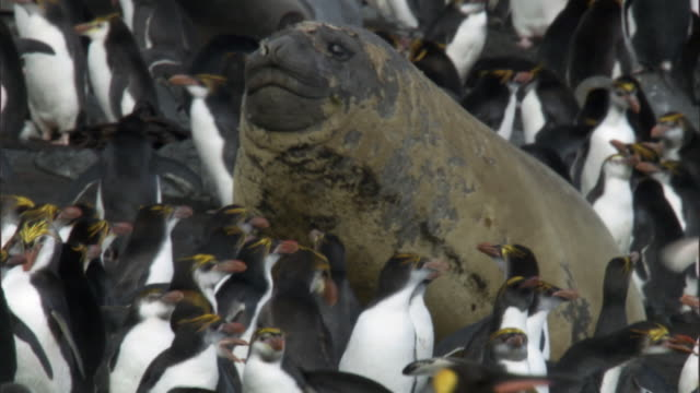 vídeos de stock e filmes b-roll de elephant seal (mirounga leonina) lumbers through royal penguin (eudyptes schlegeli) colony, macquerie island, australia - colony