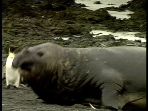 cu elephant seal, mirounga leonina, moving along shore, antarctica - südlicher seeelefant stock-videos und b-roll-filmmaterial