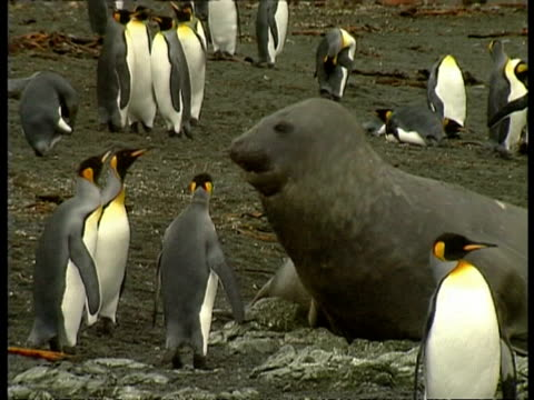 ms elephant seal, mirounga leonina, sitting amongst king penguin colony, with curious penguins inspecting it, antarctica - südlicher seeelefant stock-videos und b-roll-filmmaterial