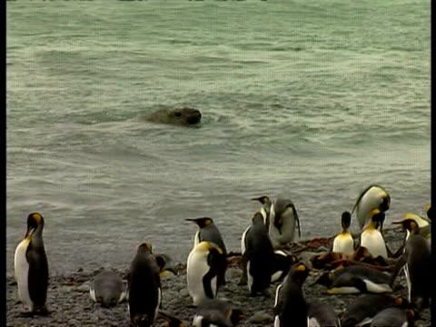 stockvideo's en b-roll-footage met ms elephant seal, mirounga leonina, swimming in water, king penguin colony on land, antarctica - zuidelijke zeeolifant