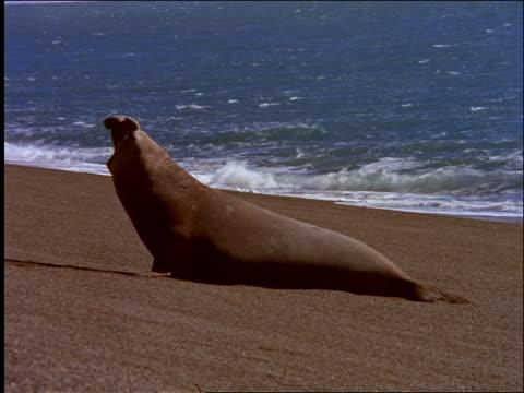 vídeos de stock, filmes e b-roll de elephant seal on beach barking / patagonia, argentina - elefante marinho