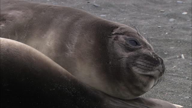 CU Elephant seal pup head AUDIO / Gold Harbour, South Georgia, Antarctica