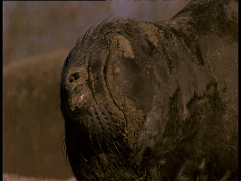 elephant seal pup relaxes, scratches and yawns on beach - auf dem rücken liegen stock-videos und b-roll-filmmaterial