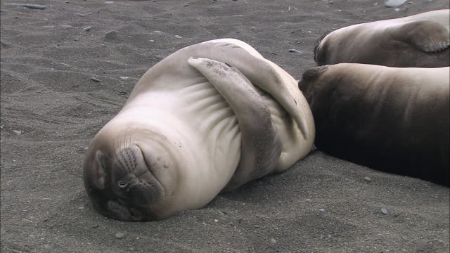 ms elephant seal pup sleeping audio / gold harbour, south georgia, antarctica  - seal animal stock videos & royalty-free footage