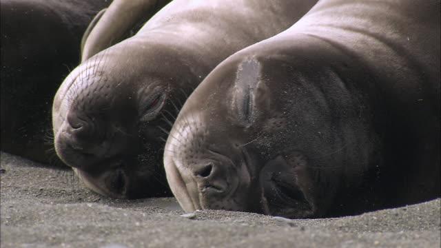 CU Elephant seal pups / Gold Harbour, South Georgia, Antarctica