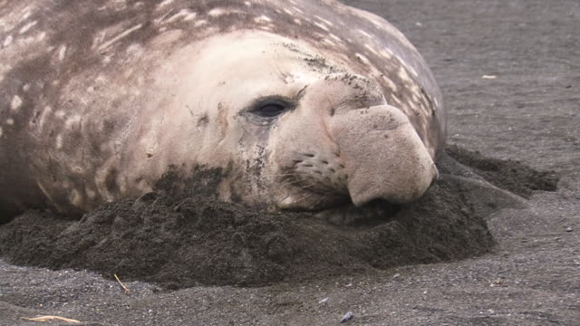 ms zi elephant seal resting  in sand / south georgia island, sub-antarctic region - südlicher seeelefant stock-videos und b-roll-filmmaterial
