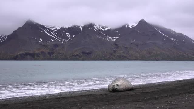 elephant seal resting on beach at fortuna bay, south georgia island, southern ocean - atlantikinseln stock-videos und b-roll-filmmaterial