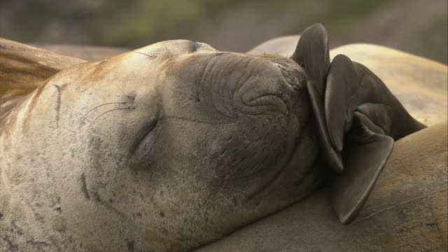 ECU, Elephant Seal sleeping, Antarctica