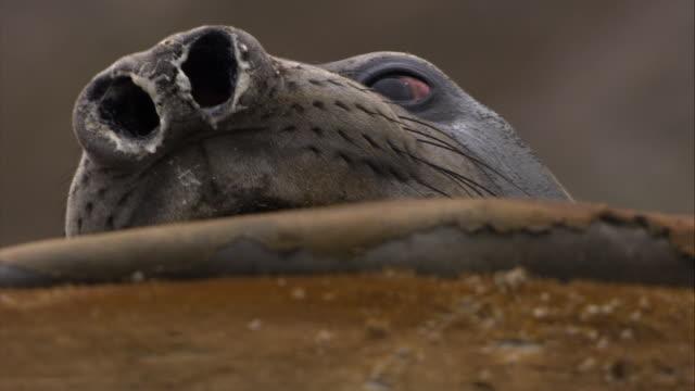ecu, elephant seal, south georgia island - schnurrhaar stock-videos und b-roll-filmmaterial