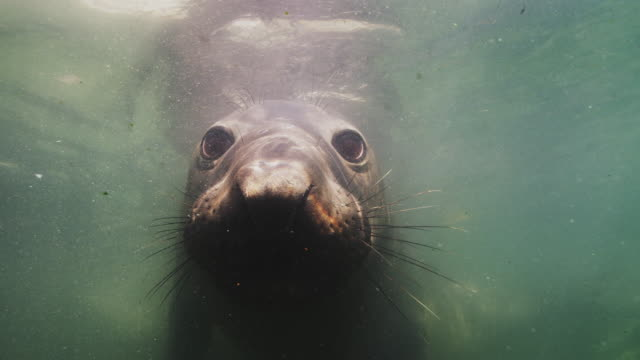 elephant seal underwater close-up - northern mexico stock videos & royalty-free footage