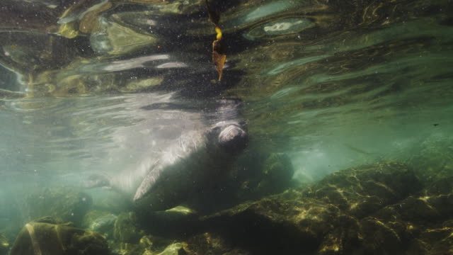 elephant seal underwater in slow motion - northern mexico stock videos & royalty-free footage