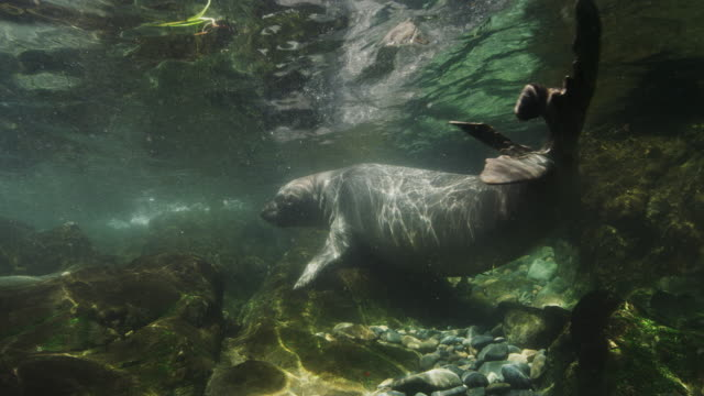 elephant seal underwater - northern mexico stock videos & royalty-free footage