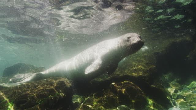 elephant seal underwater - elephant seal stock videos & royalty-free footage