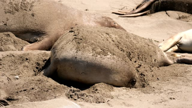 elephant seal - elephant seal stock videos & royalty-free footage