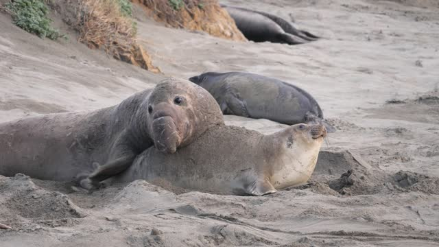 elephant seal - male animal stock videos & royalty-free footage