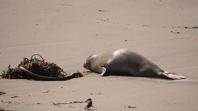 elephant seal - seal animal stock videos & royalty-free footage