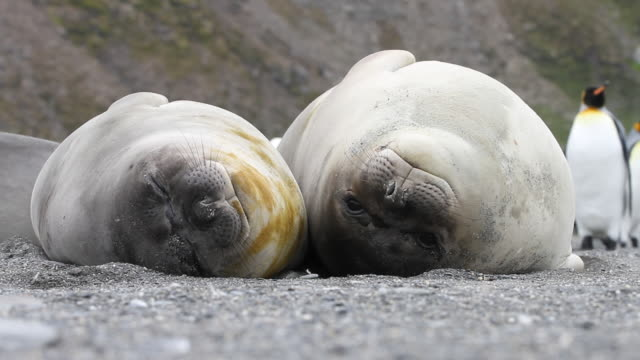 elephant seal - fianco a fianco video stock e b–roll
