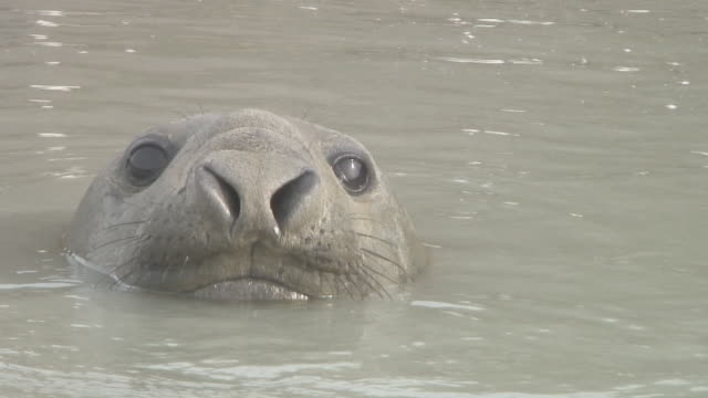 elephant seal - elefante marino del sud video stock e b–roll