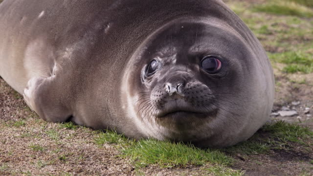 elephant seal weaner (baby), ocean harbor, south georgia island, southern ocean - mouth open stock videos and b-roll footage