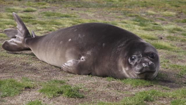 Elephant seal weaner (baby), Ocean Harbor, South Georgia Island, Southern Ocean