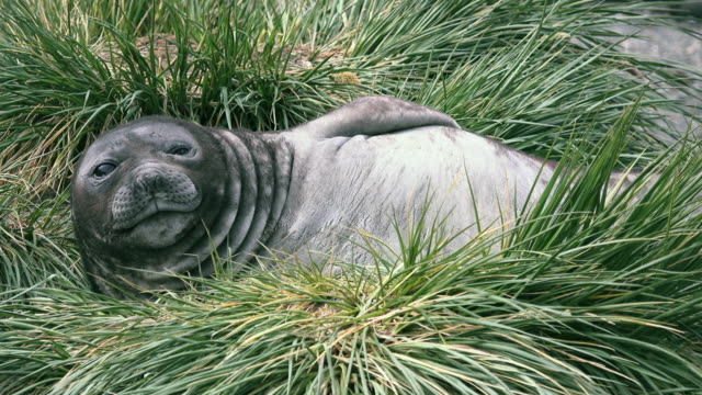 elephant seal weaner (baby), ocean harbor, south georgia island, southern ocean - seal pup stock videos & royalty-free footage